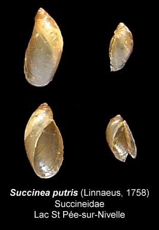 succinea putris Succin10