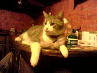 présentation de vos animaux: chats: Bandit10