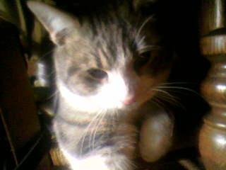 présentation de vos animaux: chats: Cosinu11