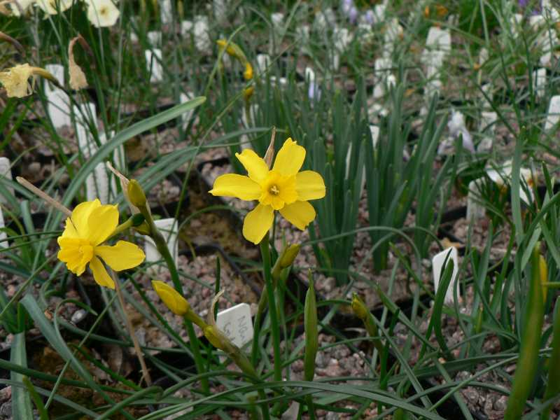 Narcissus 2008 Narcis11