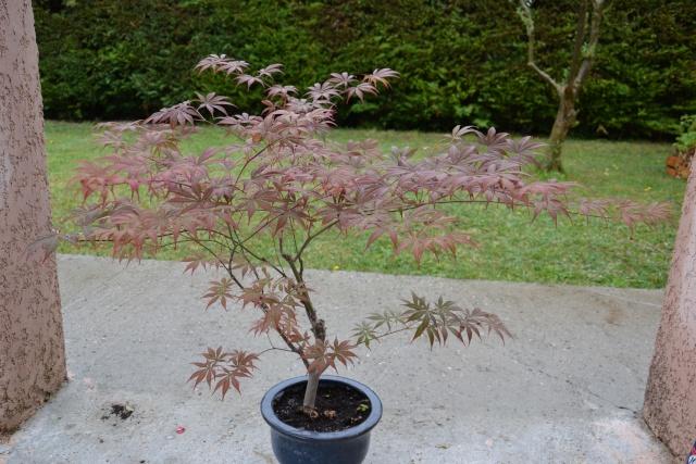 Mon Acer Palmatum Dsc_0710