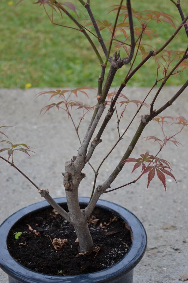 Mon Acer Palmatum Dsc_0712