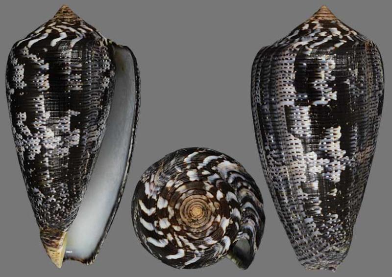 Conus (Pionoconus) achatinus  Gmelin, 1791 Achati10