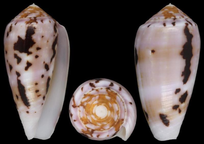Conus (Pionoconus) floccatus   GB Sowerby I, 1841 - Page 4 Flocca10