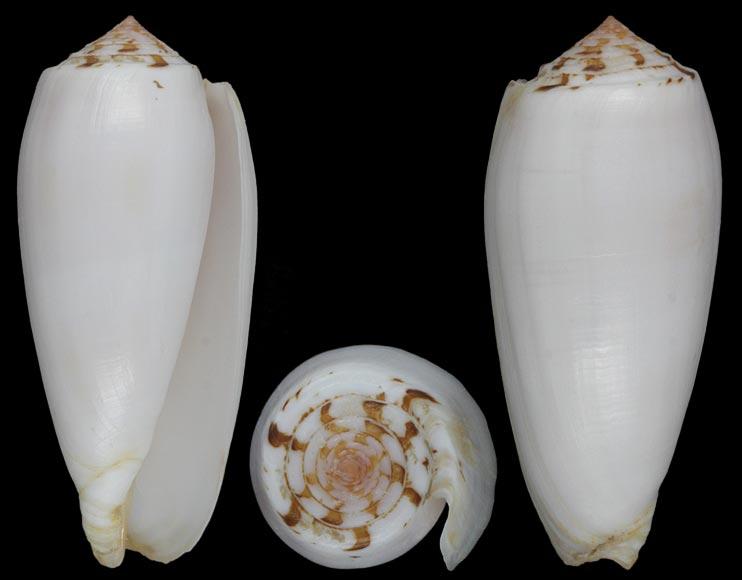 Pionoconus striatus subfloridus (da Motta, 1985) Striat10