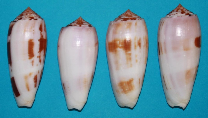 Pionoconus striatus subfloridus (da Motta, 1985) Subflo10