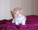 Perzijska mačka 110