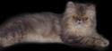 Perzijska mačka Bucka110