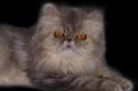 Perzijska mačka Bucka111