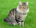 Kurilska mačka bez repa Curili10