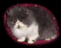 Perzijska mačka Hobit_10