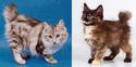 Kurilska mačka bez repa Kurils10