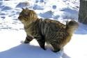 Kurilska mačka bez repa Kurils11