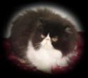 Perzijska mačka Mery_l10