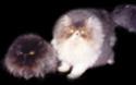 Perzijska mačka Other111