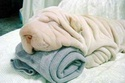 nega pasa-kako treba negovati,čistiti pse .... Peskir10