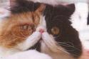 Perzijska mačka Thalia10