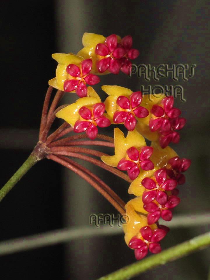 Hoya soligamiana Img_2210