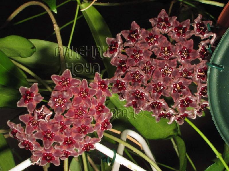 Hoya globulifera (& H lamingtoniae) Img_5913