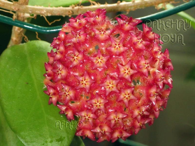 Hoya mindorensis & erythrostemma Img_6214