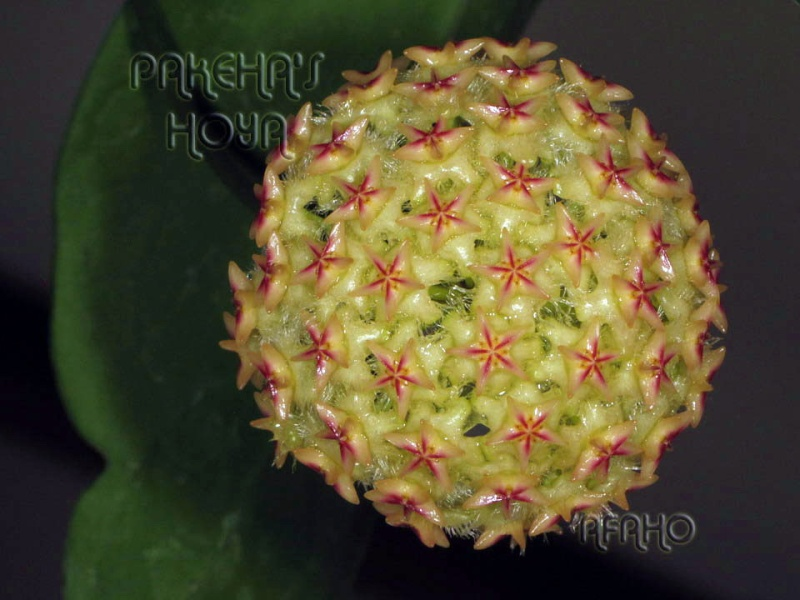 Hoya mindorensis & erythrostemma Img_6314