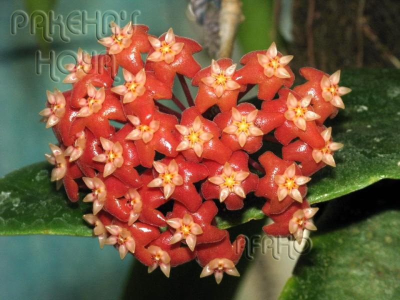 Hoya ilagiorum (fost hoya ilagii) Img_7111