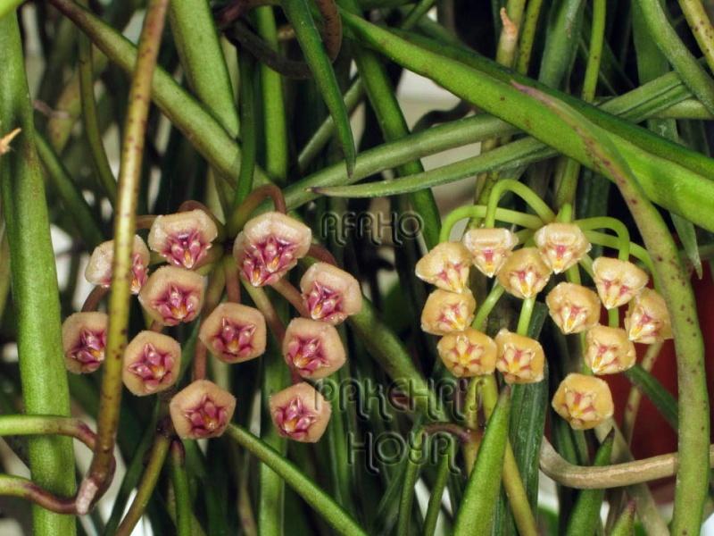 Hoya acicularis Img_7113
