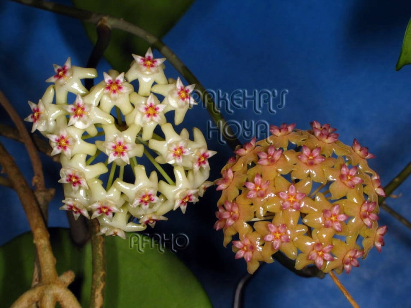 Hoya fitchii CMF8 (ex cagayanensis) Img_7215