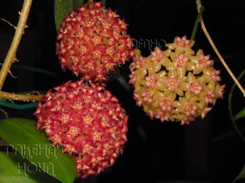 Hoya fitchii CMF8 (ex cagayanensis) Img_7216