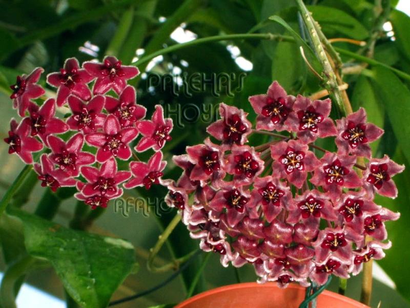 Hoya globulifera (& H lamingtoniae) Img_7415