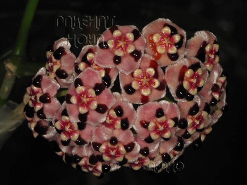 Hoya meliflua ssp fraterna (& ssp meliflua) Img_7416
