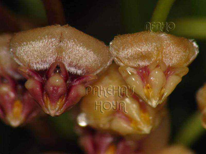 Hoya acicularis Img_7517