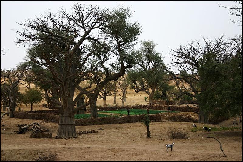2010 Le pays Dogon en Acadiane 4x4   Baobab10
