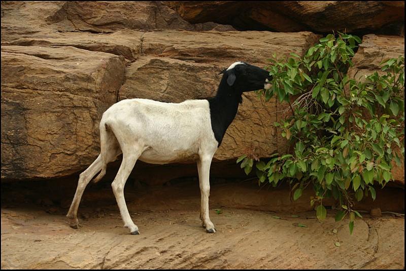 2010 Le pays Dogon en Acadiane 4x4   Mouton10