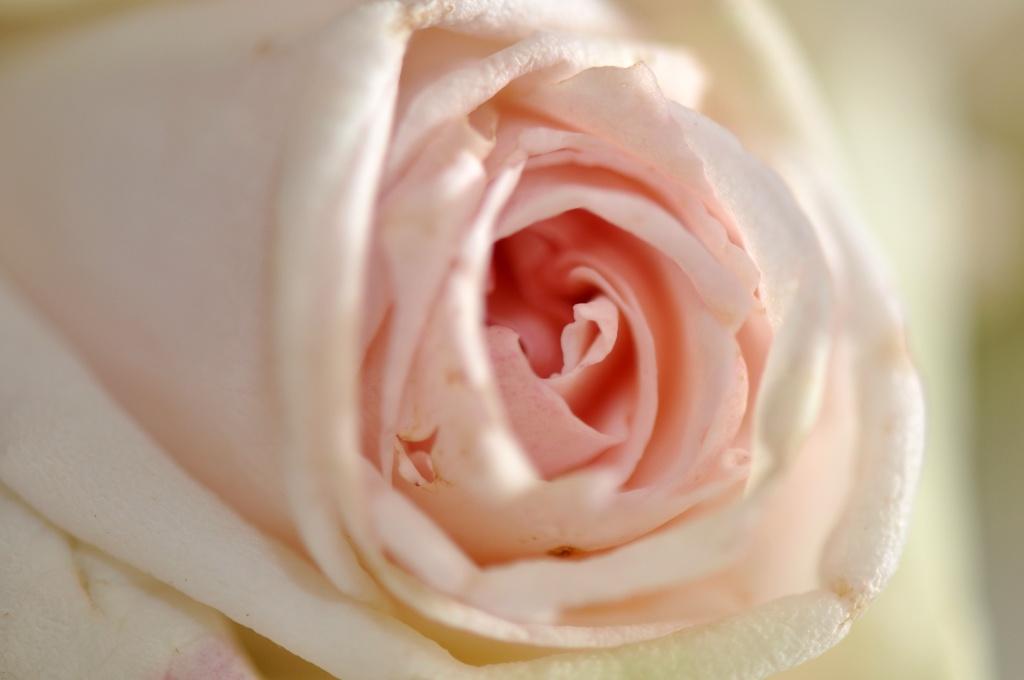 Encore une Rose Dsc_0019