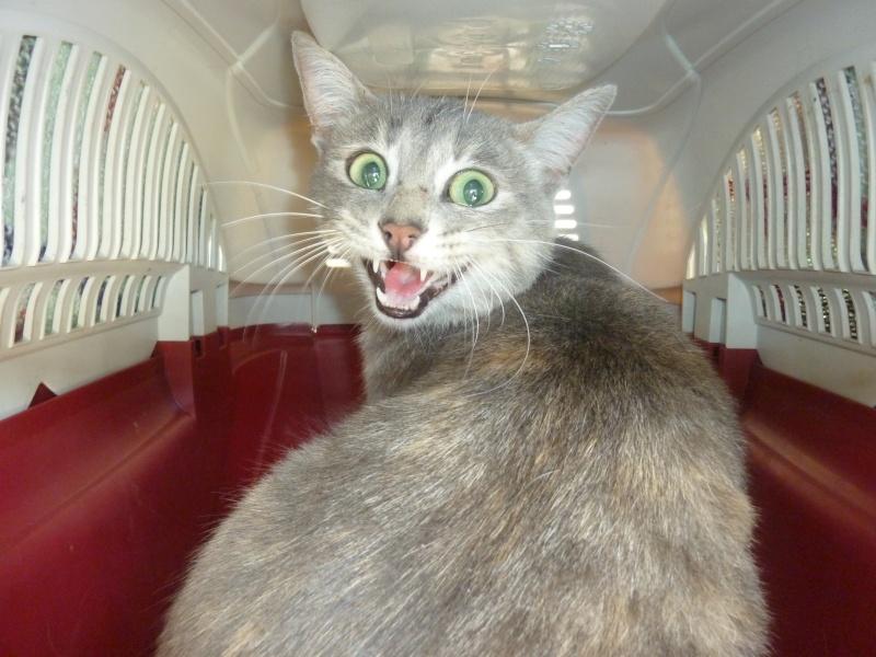 Trouvée à Colomiers chatte grise trace de beige - 15/08/10 P1030310