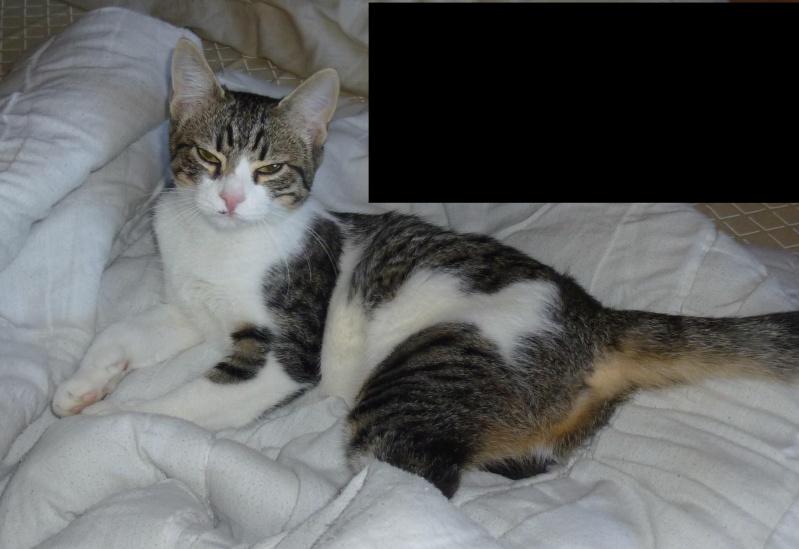 Trouvée à Colomiers jeune chatte tigrée et blanche - 24/09/10 P1030413