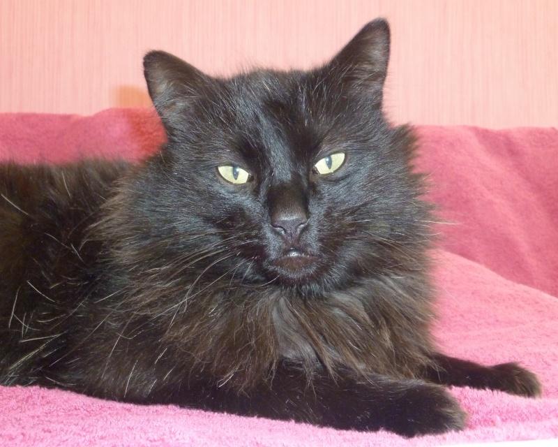 Trouvé à Colomiers chat noir poils longs  P1050111