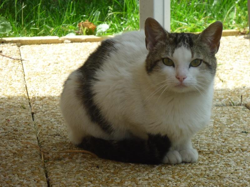 Trouvé chat (ou chatte) blanc et tigré à Colomiers P1050515