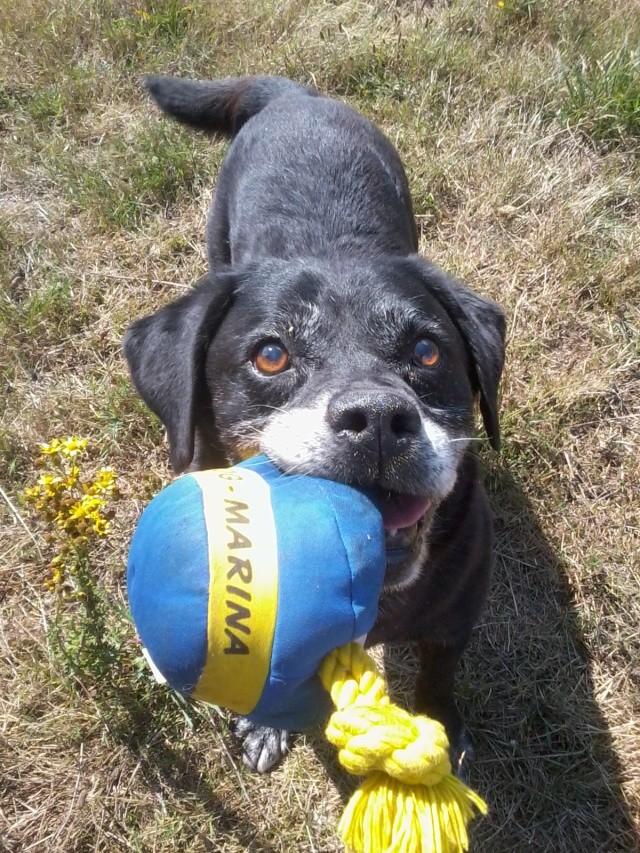 BROK, Labrador, 9 ans, SPA Cholet (49) - Page 2 Photo010