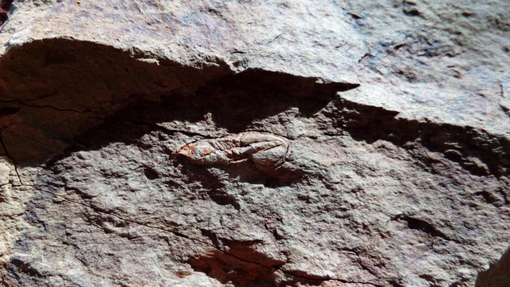 Serrodiscus speciosus Ford, 1873 Img_2028
