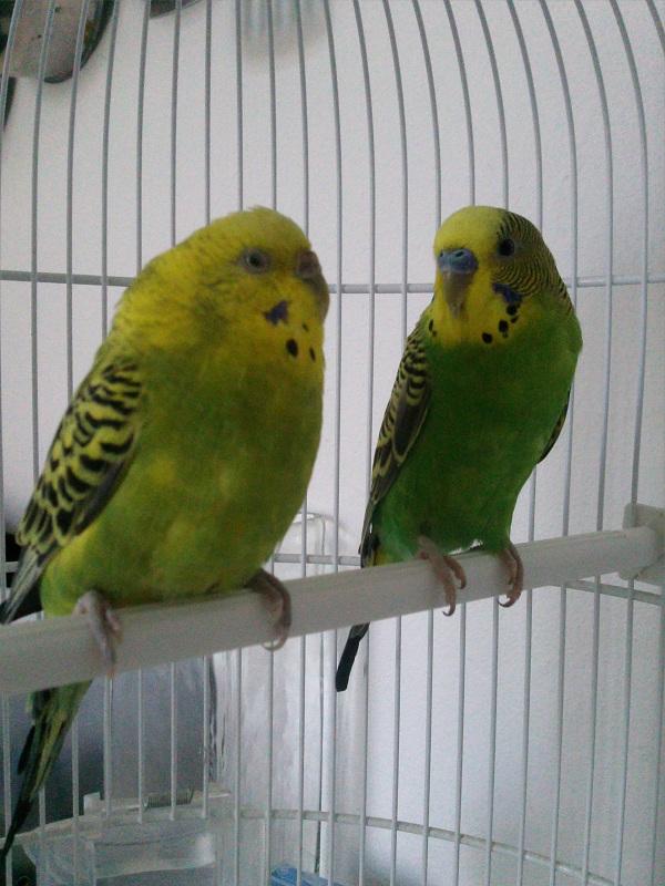 voici mes deux perruches  Image_10