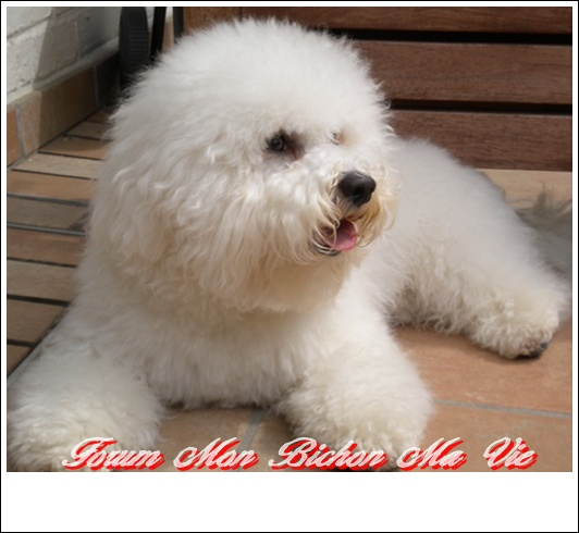 Album photos des bichons Babou_11