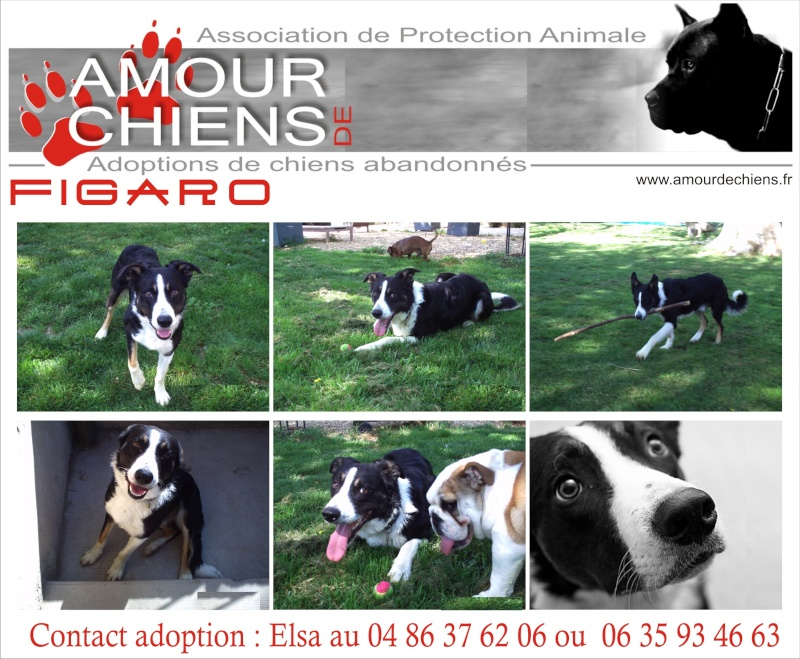 collie - figaro, border collie 1ans dept84 Cij2fr10