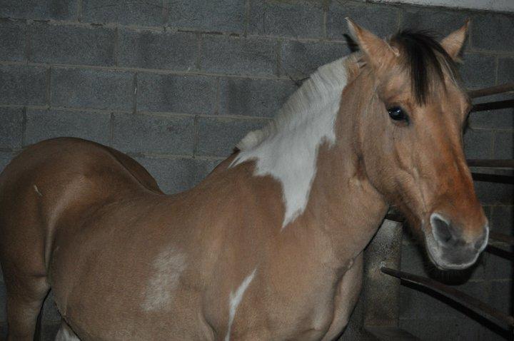 Fête équestre à Bernissart le 23 octobre: le défilé des chevaux à adopter 33908_10