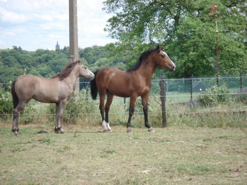 ASTER, poulain (croisé haflinger et poney d'1m40), adopté Dsc07912