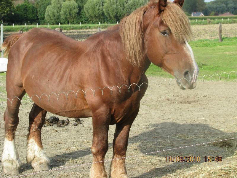 FRIPON, hongre de 17 ans, trait breton PP (ADOPTE) Img_3312