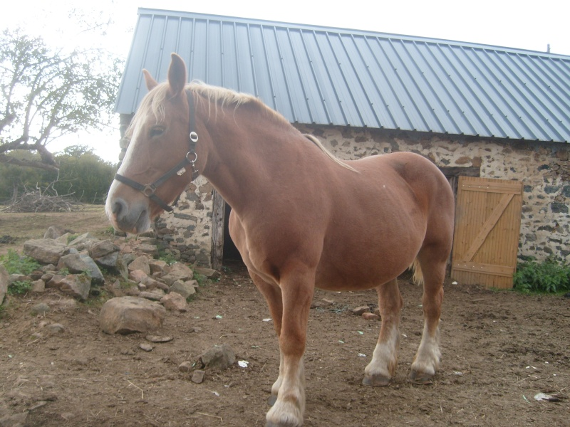 Fête équestre à Bernissart le 23 octobre: le défilé des chevaux à adopter S7301510