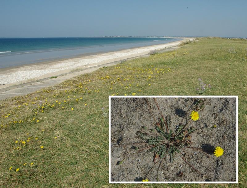 Plantes des dunes (Leotondon, Otanthus, Jasione, Muscari) Imgp1010