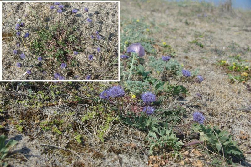 Plantes des dunes (Leotondon, Otanthus, Jasione, Muscari) Imgp1012
